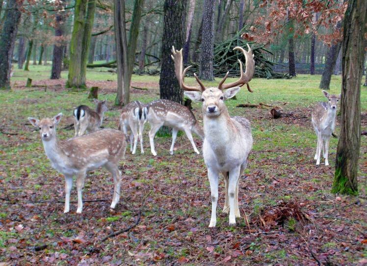 fallow-deer-group-262168_1920