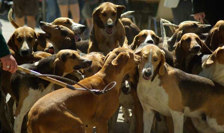 hunting-dogs-800845_1920